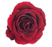 红色在与裁减路线的白色背景隔绝的玫瑰花 免版税库存照片
