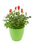 红色在塑料罐的玫瑰花 库存图片