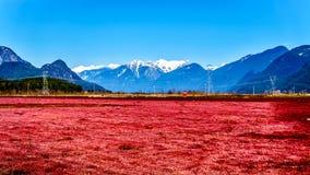 红色在有金黄耳朵的雪加盖的峰顶的匹特草原附近上色了蔓越桔领域在海岸山脉 免版税库存图片