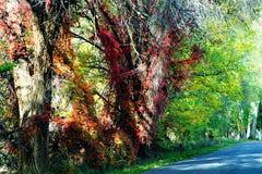 红色在树的色的藤 免版税库存照片