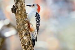 红色在树的鼓起的啄木鸟 图库摄影