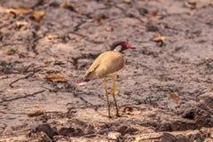 红色在沼泽地wattled给神色的田凫鸟在森林 免版税库存照片