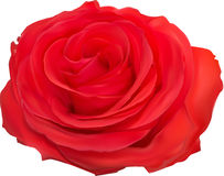 红色在白色的玫瑰绽放 免版税库存照片
