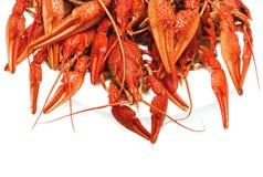 红色在白色背景的煮沸的小龙虾 库存图片