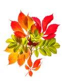 红色在白色隔绝的秋天和黄色叶子的花束  免版税库存照片
