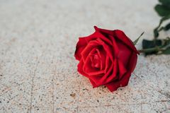 红色在石地板上的玫瑰花在情人节 库存照片