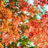 红色在秋天把槭树留在京都 免版税图库摄影