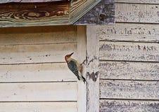 红色在谷仓的鼓起的啄木鸟 库存照片
