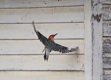 红色在谷仓附近的鼓起的啄木鸟 库存照片