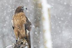 红色在雪的被盯梢的鹰 库存图片