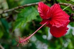 红色在露水在绽放的雨小滴盖的木槿热带花 图库摄影