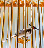 红色在鸟笼的whiskered歌手 免版税库存照片