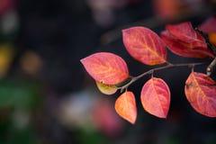 红色在黑暗被弄脏的背景留下灌木 秋天季节背景 浅景深,软的焦点 免版税库存图片