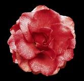 红色在黑色的玫瑰花隔绝了与裁减路线的背景没有阴影 有水滴的罗斯在瓣的 特写镜头 图库摄影