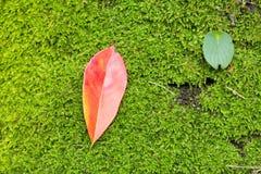 红色在绿色青苔离开,在泰国 库存图片
