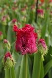 红色在keukenhof的被装饰的郁金香 库存照片