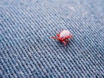 红色壁虱春天在牛仔布爬行 寄生生物的特写镜头 库存照片