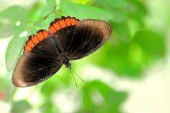 红色外缘蝴蝶(上部) 库存图片