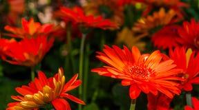 红色大丁草。 免版税库存照片