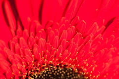 红色大丁草的宏观图象 免版税库存照片