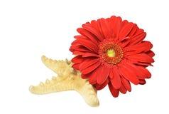 红色大丁草的构成开花花和海星 图库摄影