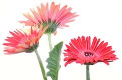 红色大丁草花 背景查出的白色 库存图片