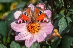 洋红色大丽花唯一火焰孔雀铗蝶饮用的花蜜  免版税库存照片