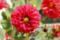 红色大丽花在庭院里 库存图片