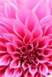 洋红色大丽花花抽象特写镜头与装饰瓣的 免版税库存照片