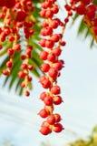 红色大君棕榈 免版税库存图片