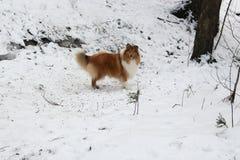 红色大牧羊犬在雪森林里 免版税库存照片