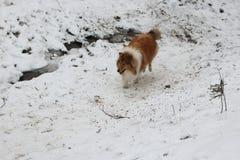 红色大牧羊犬在雪森林里 免版税库存图片