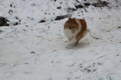 红色大牧羊犬在雪森林里 库存图片