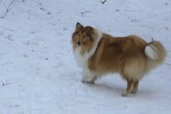 红色大牧羊犬在雪森林里 库存照片