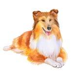 红色大牧羊犬或Sheltie,设德蓝群岛牧羊犬在白色背景的品种狗水彩画象  手拉的宠物 免版税库存图片