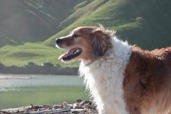 红色大牧羊犬类型农厂护羊狗待命沿海 免版税库存照片