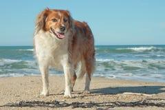 红色大牧羊犬类型站立在沙子的狗在海浪bea 图库摄影