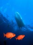 红色大眼鲷鱼 图库摄影