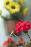 红色大竺葵和黄色向日葵 免版税库存图片