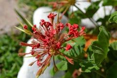 红色大竺葵在公园 库存照片