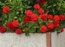 红色大竺葵花在夏天庭院里 明亮的天竺葵花 大竺葵花 库存图片