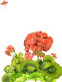 红色大竺葵花的水彩例证,空白的邀请卡片,模板设计  免版税库存照片