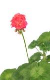 红色大竺葵 库存照片