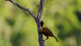 红色天堂鸟在树梢的显示 女性将选择男性采取她的花梢 免版税库存照片