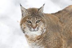 红色天猫座或美洲野猫 免版税库存图片