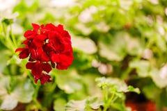 红色天竺葵 库存图片