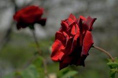 红色天鹅绒英国玫瑰 库存照片