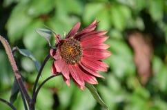红色太阳向日葵 库存照片