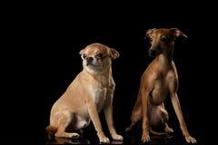 红色奇瓦瓦狗和意大利灵狮尾随开会被隔绝的黑backgrond 库存图片