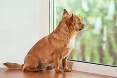 红色奇瓦瓦狗狗坐窗口基石 免版税库存照片